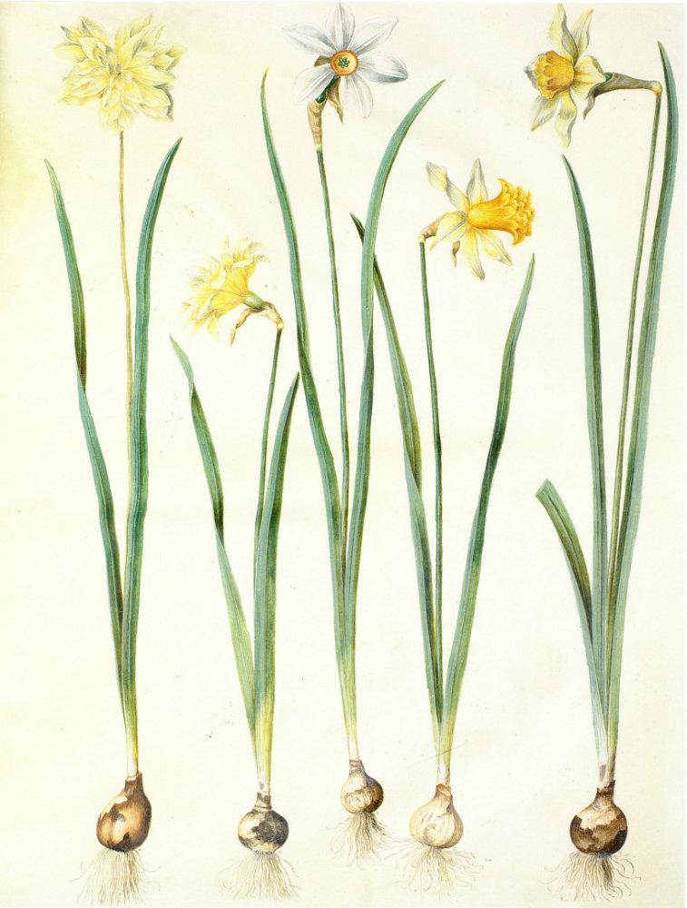 daffodil-narcissus bulb