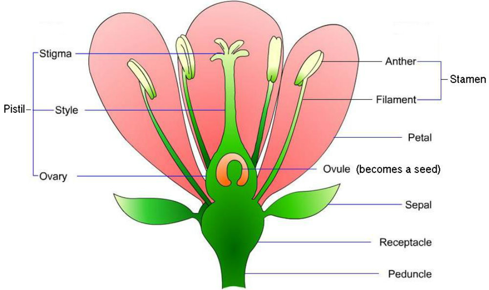 Anatomy of flowers