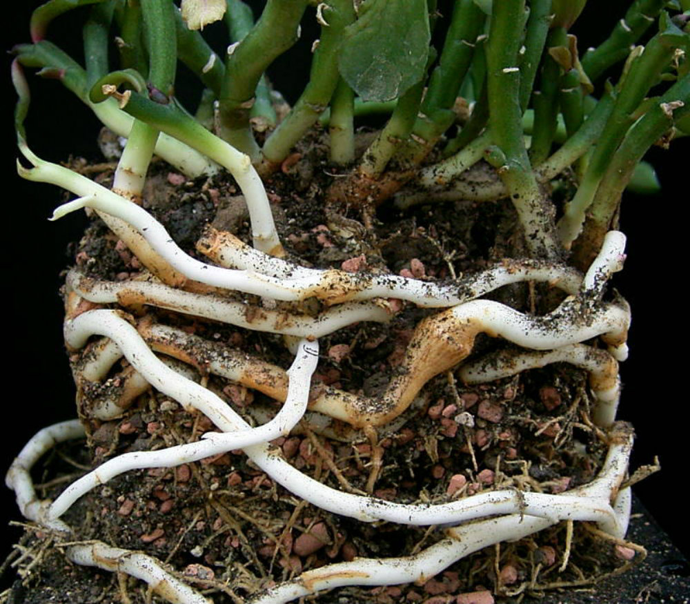 Picture of a Rhizome