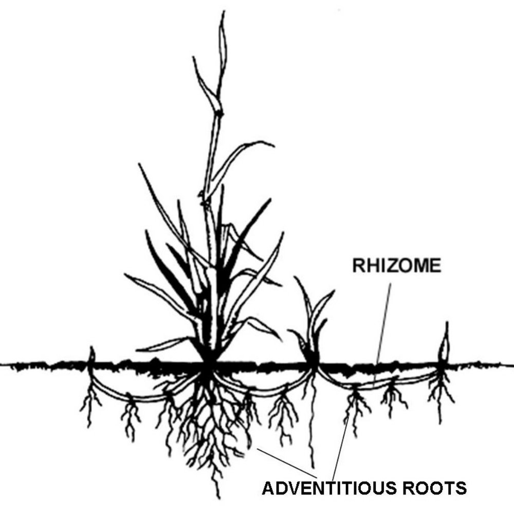 Structure of a plant with a rhizome